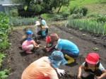 画像:いよいよ芋掘り開始です