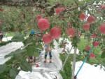 画像:りんごの甘~い匂いがいっぱいです