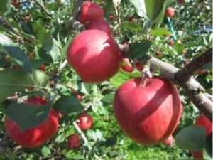 画像:赤いリンゴは「しなのスイート」