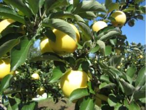 画像:黄色のリンゴは「しなのゴールド」