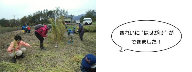 画像:稲刈りをしました4