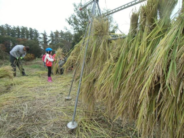 画像:稲刈りをしました5