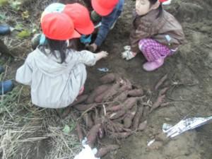 画像:土の中からたくさんお芋がでてきました