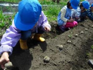 画像:土の上に種芋を並べておいて…