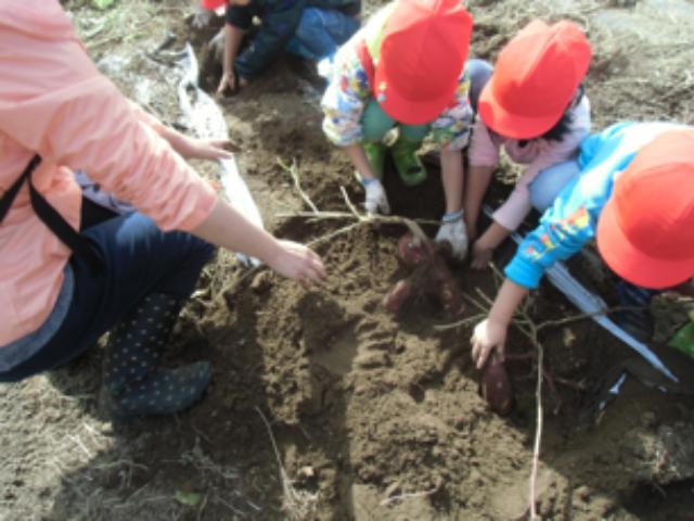 画像:わぁ!すご~い!土を掘るとおいもが顔をだしました