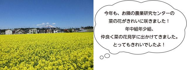 画像:菜の花畑1