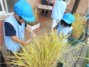 画像:稲刈りの道具は「ハサミ」です