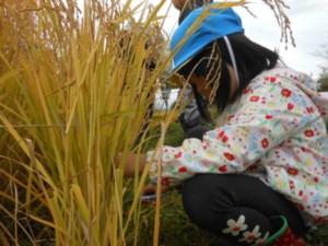 画像:稲刈り