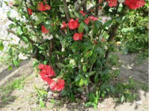画像:ボケの花