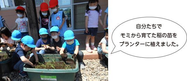 画像:自分たちでモミから育てた稲の苗をプランターに植えました。