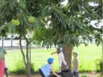 画像:栗の木もたくさん実をつけています