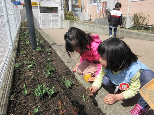 画像:冬に年中組さんが植えたちゅうりっぷが芽を出し伸びています