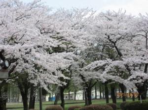 画像:お隣の農業試験場の桜を見に行きました!